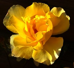 A sunny Sunday wish and a yellow rose just for you! (peggyhr) Tags: peggyhr rose yellow climbing bluebirdestates alberta canada mothernature l~1passionforflowers heartawards thegalaxy thelooklevel1red super~sixbronzestage1 carolinasfarmfriends