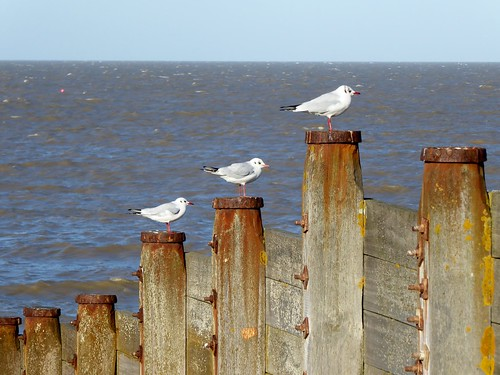 Threegulls