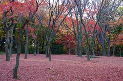 北の丸公園 Kitanomau Park (ELCAN KE-7A) Tags: 日本 japan 東京 tokyo 千代田 chiyoda 北の丸 kitanomaru 公園 park 紅葉 autumn leave モミジ maple 落葉 ペンタックス pentax k5ⅱs 2016