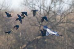 Heron (johnthistle) Tags: reserve lodge maple heron bird canon