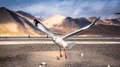 Oh Crap!! Am i in your shot.. (Robie..) Tags: seagull pangong bird lake highest ladakh india leh peacefull