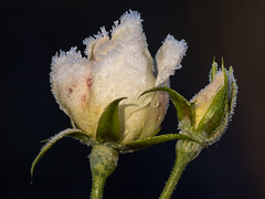 Frosted Rosebuds (Maria-H) Tags: rose rosegarden bud dunhammassey garden altrincham cheshire england uk panasonic gh4 dmcgh4 100400