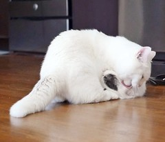Forceful grooming #goboogi #chobee #munchkin #cat # # # # # # # # # # # # (Goboogi.Munchkin) Tags:     goboogi  munchkin  chobee  cat