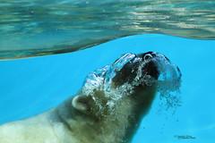Bubbles (Noodles Photo) Tags: ursusmaritimus eisbr polarbear zoodelaflche france raubtier sugetier zoo wasser