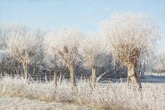 It's freezing outside ({Stefanie}) Tags: winter frost sunny sunlight morning fresh frozen