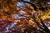 2016 Autumn leaves #7 (Yorkey&Rin) Tags: 12月 2016 autumncolors autumnleaves bluesky december em5 japan japanesemaple leicadgsummilux25f14 olympus rin tc173377 tokyo winter yasukunishrine もみじ゙ 紅葉 神池庭園 青空 冬 靖国神社