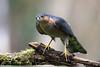 Encore raté - Still missed (Jacques GUILLE) Tags: 09 accipiternisus accipitridés accipitriformes ariège domainedesoiseaux epervierdeurope eurasiansparrowhawk jacquesguille mazères bird oiseau