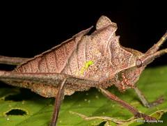 Leaf mimicking katydid nymph (Ecuador Megadiverso) Tags: andreaskay ecuador amazon book katydid leafmimickingkatydid nymph orthoptera phaneropteridae puyo tettigoniidae