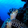 Merry Merry, Happy Happy (jcl8888) Tags: ocean turtle seaturtle cozumel mexico hawksbill scuba diving travel adventure vacation 2016 nikon nauticam coral reef reptile blue