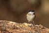 Cincia bigia (AIIex) Tags: cincia wildlife animal darktable tarmon nikon d7100 nature wood bosco bird 70300 uccello opensource