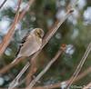 _DSC5507 Chardonneret jaune (Danièle T) Tags: chardonneret jaune hiver branche cour american goldfinch spinus tristis oiseau extérieur ornithologie fringillidés