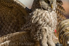 Who needs a long lens (ChicagoBob46) Tags: greatgrayowl owl bird yellowstone yellowstonenationalpark nature wildlife
