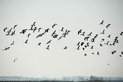 flying goose (reneprins) Tags: nature natuur goose ganzen oostvaardersplassen
