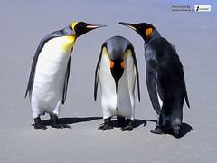 meeting of penguins hd (hayden.ricky2) Tags: nature beautiful spectacular penguins amazing beautifulscenery admirable twopenguins kingpenguins littlepenguin penguinplunge flyingpenguins animalspenguins landscapewallpaper penguinsinlove webdesignfirm penguinswallpaper lonelypenguin natureintheworld icepenguins penguinschildwallpaper meetingofpenguinshd penguinslinewallpaperhd lovepenguinswallpapershd penguinswithbabypenguin cutepenguinwallpaper babypenguinspictures penguinberg bestportfoliowebsites penguinstheanimalkingdom beautifulpenguinswallpapers penguinstogetherwallpaper birdspenguinsinlovehd penguinsfamily penguinskeepearthgreen penguinswintersnow