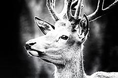 King of the Forest (Adobe Garamond) Tags: lord occhi sguardo erba fiero re felice bianco nero animale forte pelo libero legno bosco foresta scuro cervo potente potere contrasto signore mastro vivente rampante crna galoppo reame regno cornuto maestoso regnante galoppante