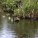 Swan Lake Photo, Swan family, Western Springs by Array (aka Array)