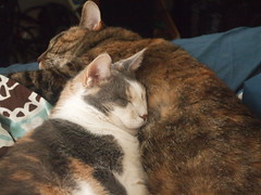 P4157713 (Raccoon Photo) Tags: pet cats pets cute love animal animals cat fur paw furry feline kittens pixie domestic kitties paws companions love animals eyes cat pixie kamalani domestic ball cat cats fur adorable stardust adopted