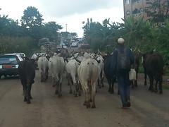 Rinderherde in Bamenda