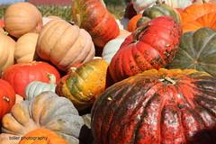 IMG_1992t (novasdtr) Tags: autumn halloween nature colors colorful herbst farming seasonal harvest autumncolors crops farben gords jesie herbstfarben pumpkings hoidays farmcrops