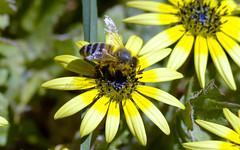 Honey Bee (Riley-Dobe) Tags: flower wings insects yellowflower bee honeybee 50mm18 d7100