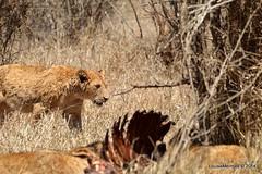 DSC_3919 (Arno Meintjes Wildlife) Tags: africa southafrica feeding wildlife lion safari bigcat cubs predator big5 pantheraleo arnomeintjes