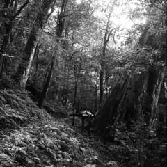 這.... (阿智) Tags: bw 120 film darkroom taiwan 黑白 新竹縣 司馬庫斯 kodak400tx 底片 尖石鄉 鎮西堡 暗房 沖片 rolleiflex35a