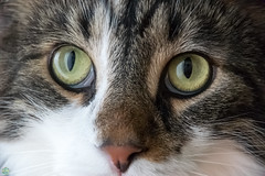 DSC_5123.jpg (d3_plus) Tags: cats animal japan cat kitten 日本 猫 動物 ねこ j4 sagamihara 相模原 maon ニコン nikon1 1nikkorvr10100mmf456 ニコン1 nikon1j4 ニコンワン