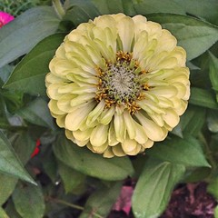 "This Green Envy Zinnia isn't as brightly colored as the fuchsia zinnia I shared yesterday, but I was equally happy to find it tucked away in the garden. I love this interesting color and keep planting this zinnia each year. This variety is much taller tha • <a style=""font-size:0.8em;"" href=""http://www.flickr.com/photos/54958436@N05/15347267629/"" target=""_blank"">View on Flickr</a>"
