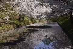 Japan2014_0416 (wallacefsk) Tags: flower japan 日本 sakura hirosaki tohoku 櫻花 hirosakipark 弘前 弘前公園