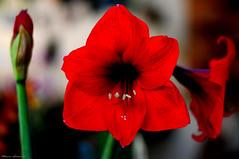 Red (mauroheinrich) Tags: flowers red flores flower primavera brasil 50mm nikon natureza 14 flor nikkor vermelha nikondigital riograndedosul orquídea nikonians ibirubá nikonprofessional fotógrafosbrasileiros fotógrafosgaúchos d300s fotógrafosdosul nikonword mauroheinrich