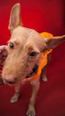 sol en la alfombra roja (milachirolde) Tags: madrid friends portrait dog love closeup puppy retrato perro bestfriend adoption voluntarios adopcion mejoramigo
