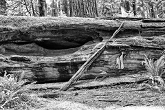 Down But Not Out (BW) (Kirt Edblom) Tags: california statepark park trees red vacation bw tree forest coast humboldt nikon afternoon scenic hike huge wife giants redwood redwoods backroad humboldtcounty hdr highway101 roadway bullcreek 2014 avenueofthegiants humboldtredwoodsstatepark gaylene easyhdr nikond7100 bullcreekcalifornia