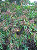 Kalmia latifolia (Calico Bush) (wallygrom) Tags: england sussex haywardsheath nt nationaltrust eastsussex sheffieldpark sheffieldparkgarden uckfield img5651