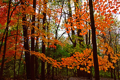 Fluttering leaves (hll816) Tags: autumn trees red fall leaves woods fluttering