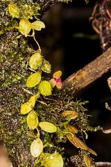 Neooreophilus catellus (Luer & R. Escobar) Archila (PenduSeb - 2670m) Tags: santander orquideas labelleza penducella neooreophilus