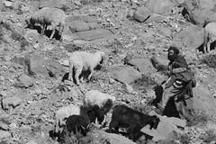 Pastor (ramosblancor) Tags: blackandwhite blancoynegro sheep goat morocco human tribes atlas gorges pastor marruecos humano arid shepard cabras garganta ovejas frica todra tribus toudra