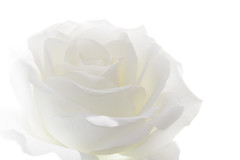 White Rose (towytopper) Tags: white rose highkey blume blte