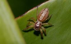 Cytaea or Opisthoncus sp? (dustaway) Tags: nature spiders arachnid australia nsw jumpingspider arthropoda arachnida lismore australianwildlife araneae salticidae araneomorphae australianspiders australianfauna northernrivers opisthoncussp cytaeasp