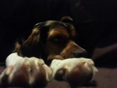 Sleepy Puppy ***Explored*** (October 9, 2014) (~Bella189) Tags: