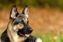 Fall pics miley 5 (codysanborn) Tags: family dog fall puppy fun nikon autum german ideas f28 hdr shepard gsd miley d7000