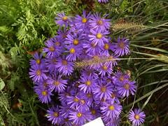 Aster amellus 'Veilchenknigin' (fotoculus) Tags: flowers flores fleur germany deutschland flora hessen blumen alemania allemagne germania landesgartenschau alemanha aster duitsland blten giesen asteramellusveilchenknigin