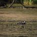 Swan Lake Photo, Gallinula chloropus by  (aka Array)