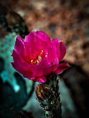 Red Beavertail Cactus (http://fineartamerica.com/profiles/robert-bales.ht) Tags: flowers red arizona cactus plants white foothills beautiful yellow cacti wow spectacular photo colorful desert superb awesome lavender rocky surreal peaceful dry fanart mojave sensational anzaborrego opuntia inspirational pricklypear spiritual sublime magical brilliant tranquil magnificent inspiring sonorandesert flicker haybales stupendous southwestusa glochids canonshooter southeasterncalifornia robertbales coloradodeserts desertslopes spreadingcactus barbedbristles cactusphotgraphy ovalfruit