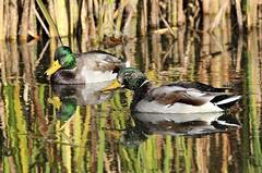 Boys will be boys (Laura Rowan) Tags: duck e mallard earlymorninglight horiconmarsh ledgeroad
