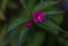 Weigelienblüte (Josef17) Tags: 50mm blende14