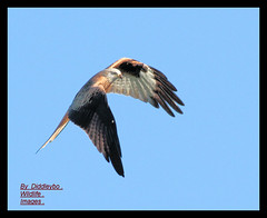 Red Kite (Diddley Bo) Tags: