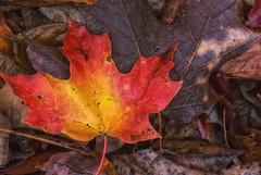 RedLeaf (jmishefske) Tags: park autumn color tree fall nature leaves wisconsin franklin leaf maple nikon october center milwaukee v1 wehr 2014 whitnall halescorners