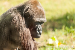 JaxZoo_11-8-14-1049 (RobBixbyPhotography) Tags: duck gorilla turtle tiger lemur cheetah bonobo kudu mandril jacksonvillezooanimals