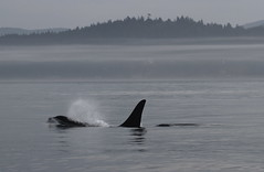 Orca surfacing on a misty morning (Paul Cottis) Tags: canada dolphin 14 vancouverisland orca killerwhale juandefucastrait paulcottis