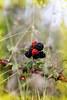 Moras (KARNATION) Tags: moras frutosdelbosque karnation